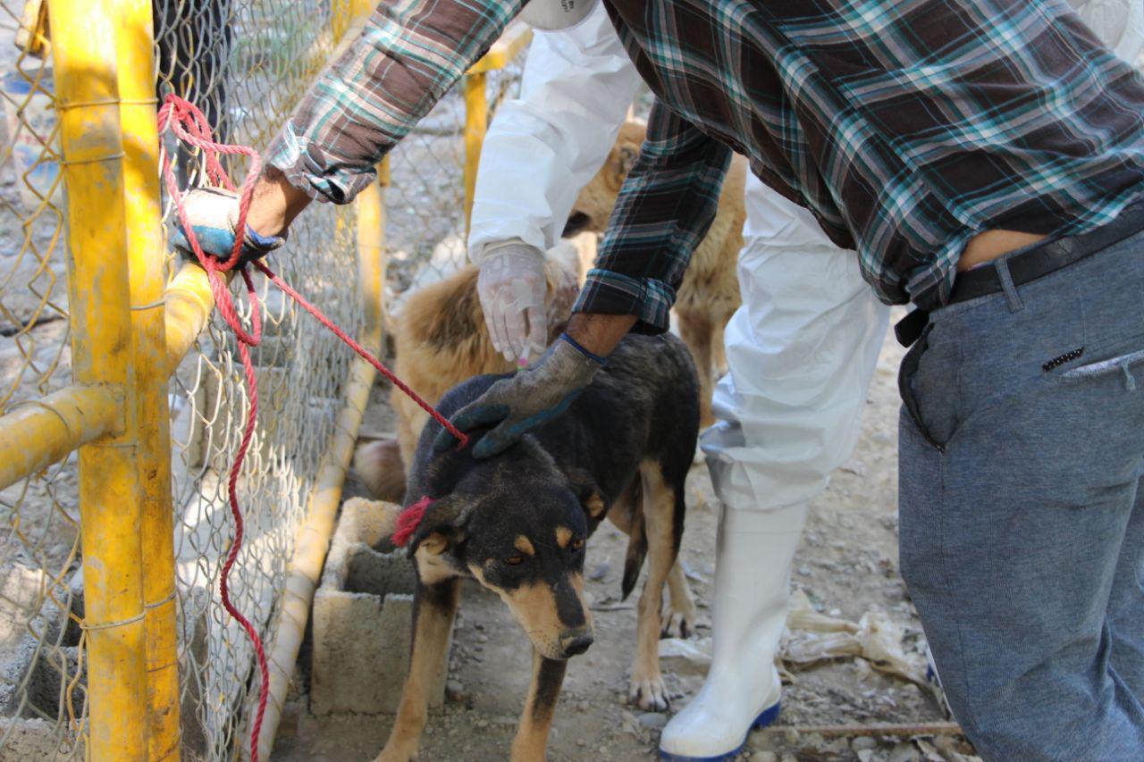 واکسناسیون سگ های ولگرد جمع آوری شده