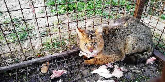 رها سازی یک قلاده گربه جنگلی  یک قلاده