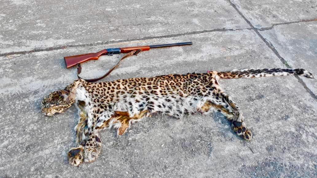 توسط یگان حفاظت محیط زیست گیلان شکارچی پلنگ شکار شد