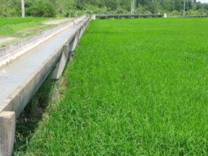 پنجمین مرحله آبگذاری شالیزارهای مناطق شرق گیلان
