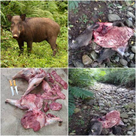 شکارچی گراز در سیاهکل به دام افتاد